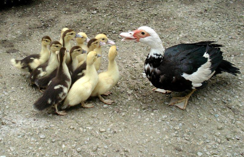 élevage volailles polignac 43 auvergne poussins elevage